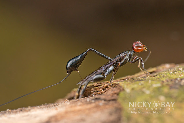 Crown Wasp ovipositioning (Stephanidae) - DSC_1666