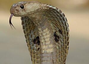 English: Indian Spectacled Cobra, Naja Naja Fa...