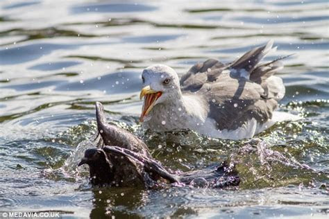 Killer seagull terrorising Hyde Park drowning pigeons and eating their bodies   Daily Mail Online