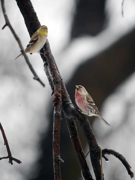 Ed Gaillard: birds &emdash; Redpoll and Goldfinch