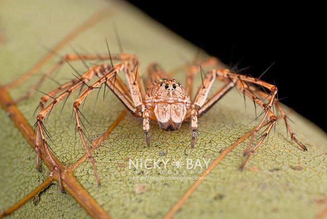 Lynx Spider (Oxyopidae) - DSC_1972