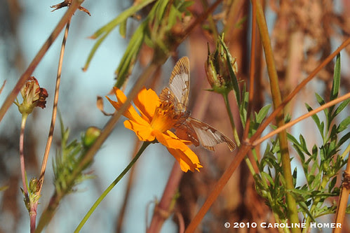 Common mestra on cosmos