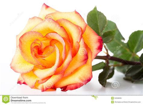Yellow Rose With A Red Border On Petals Stock Image