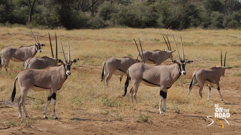A large herd of Beisa Oryx at Samburu National Reserve