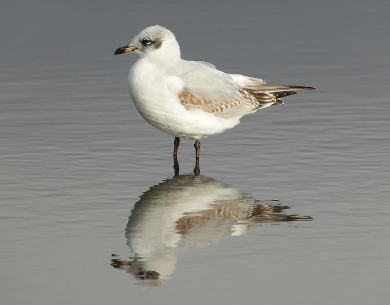 29116 - Mediterranean Gull, Bracelet Bay