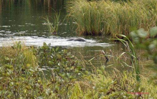 River otter   005.jpg