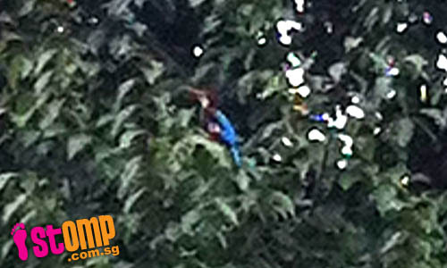 Is this a rare species? Unusual blue-plumed bird spotted on tree in Bukit Gombak -thumbnail