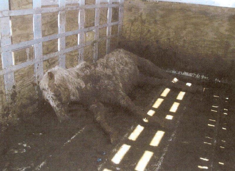 Dead horse in trailer