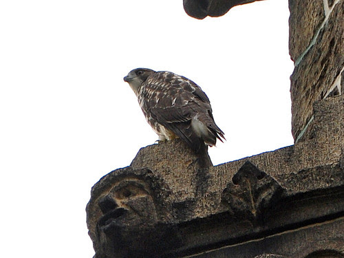 Fledgling in a Turret