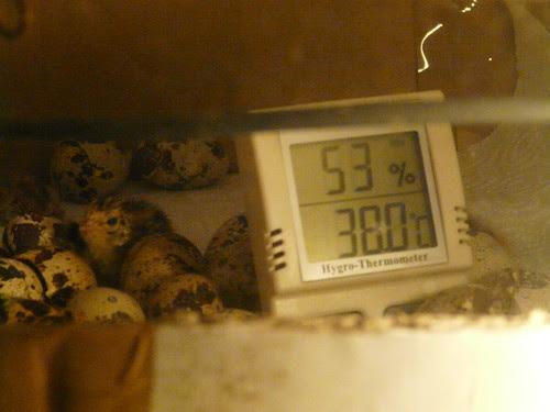 quail Hatching