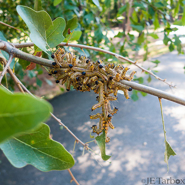 Oak worms in                                                       Lexington, South                                                       Carolina