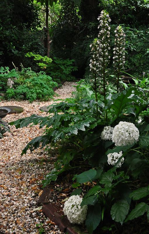 Hydrangea arborescens 'Annabelle' and Acanthus mollis