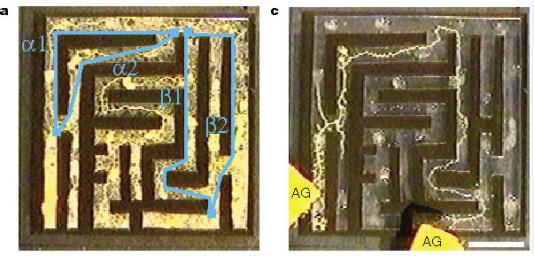 Le blob commence par couvrir l'ensemble du labyrinthe (à gauche : en bleu les alternatives possibles). Au bout de 8 heures (à droite), il s'est concentré sur le meilleur chemin pour joindre les sources de nourriture AG situées à l'entrée et la sortie.