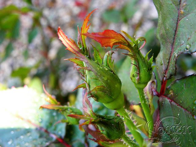 DSCN1250 Rose bud