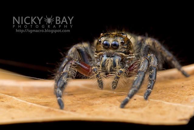 Jumping Spider (Salticidae) - DSC_4681