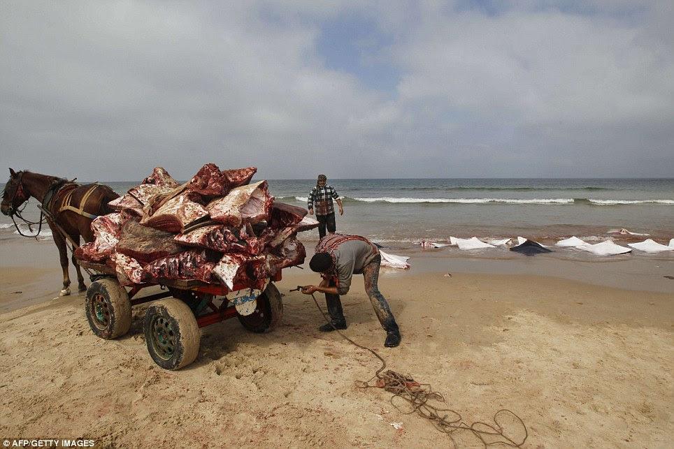 Από την κίνηση: Ήταν η πρώτη φορά που τα ψάρια είχαν δει στην παραλία για έξι χρόνια, σύμφωνα με μια τοπική έκθεση βίντεο που έδειχναν ψαράς εξέταση των Rays