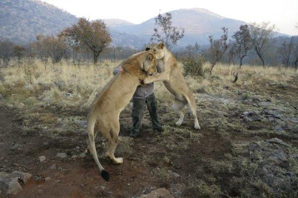 Две львицы обнимают Кевин Ричардсон. Фото