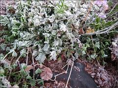 Frosty plants...