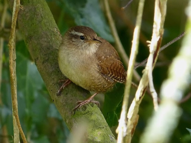 26893 - Wren, River Coly