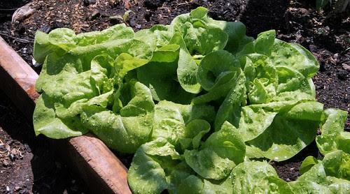 green bibb lettuce