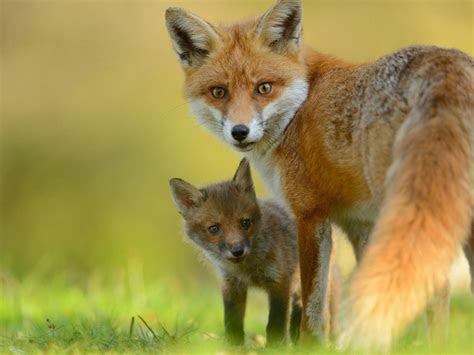 red fox cute  fox hd wallpaper wallpaperscom