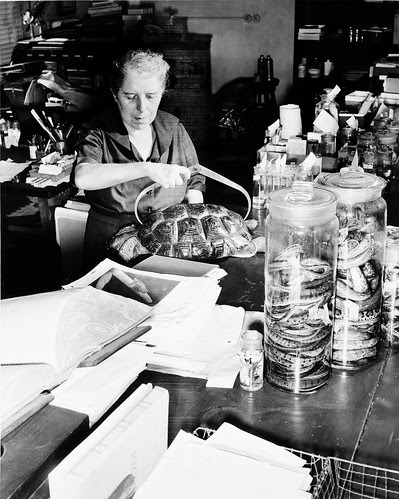 Doris Mable Cochran (1898-1968), measuring a turtle shell