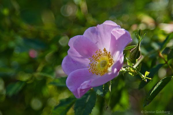 sunlit (wild) rose