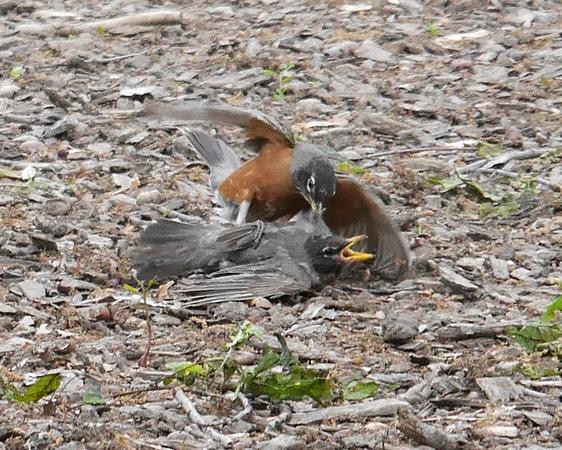 Ed Gaillard: birds &emdash; Robins fighting, Central Park