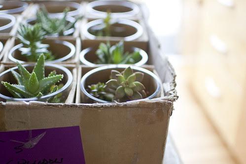 succulents, short and stout