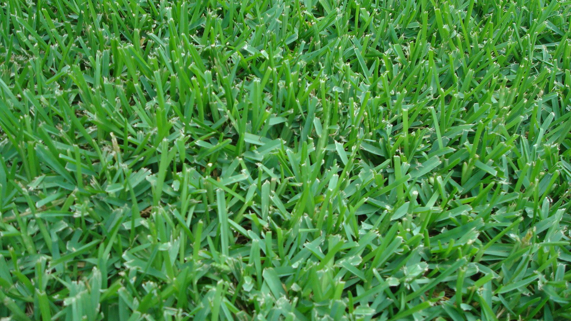 Saint Augustine Grass Lawn Spraying Bay Area Lawn Pest Control