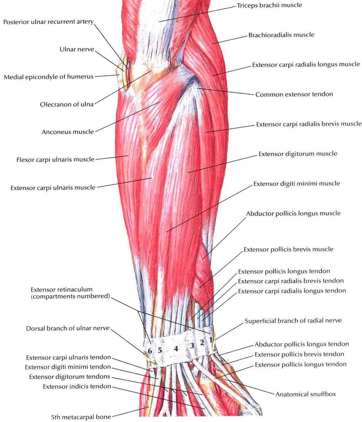 Forearm Anatomy Tendons