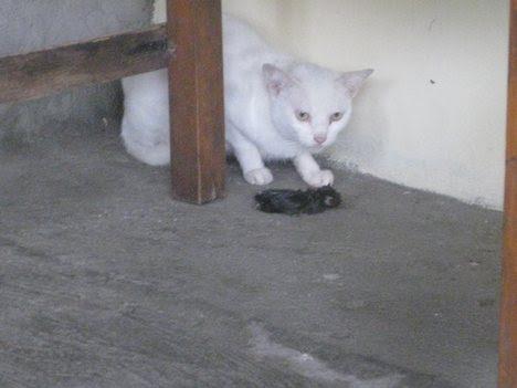 Dead Cat In Road. Cat and dead rat - Animal