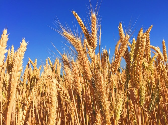 Will India Continue Being the 2nd Largest Producer of Wheat in 2021?