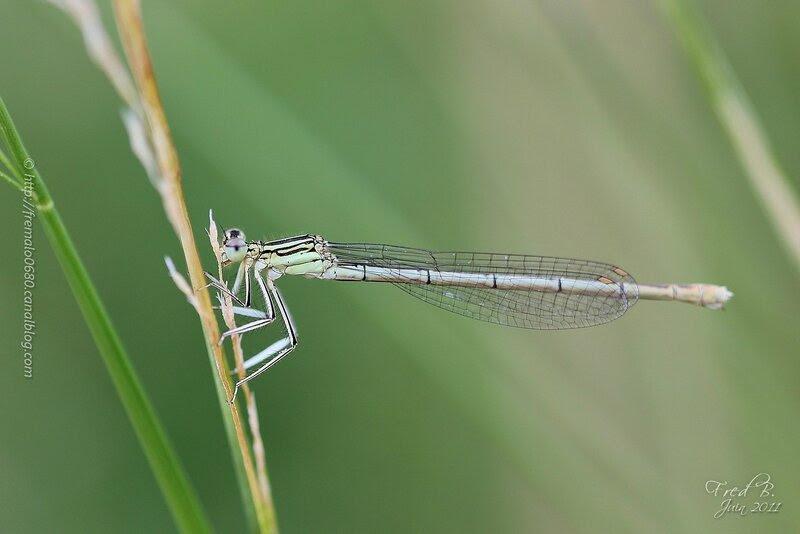 Platycnemis pennipes ♀