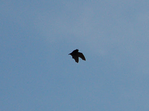 Bat over in Morningside Park
