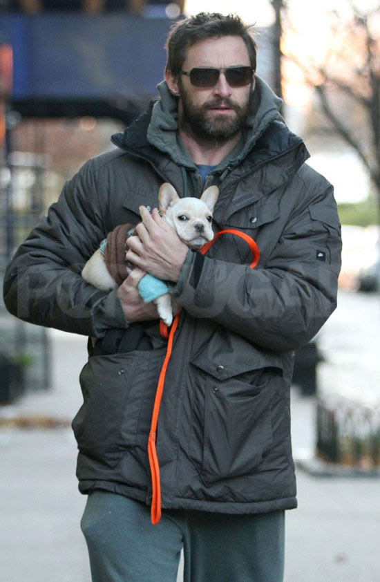 hugh jackman with pet french bulldog in new york city december 2010