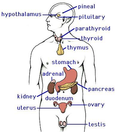 endocrine system | Biology Diagrams | Pinterest