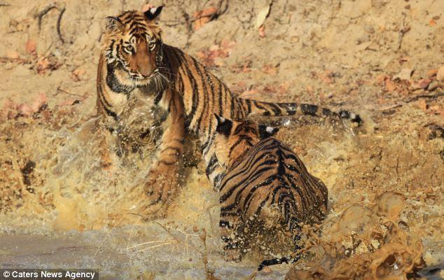 Παιχνιδια στο νερο για τις τιγρεις του Bandhavgarh στην Ινδία