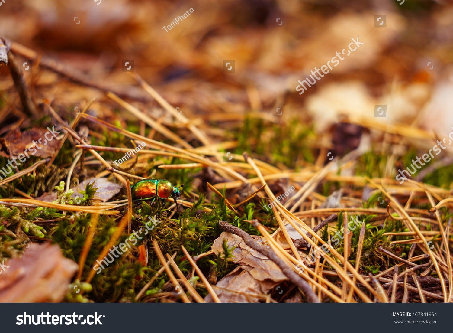Autumn forest nature background with green dung beetle, moss and needles