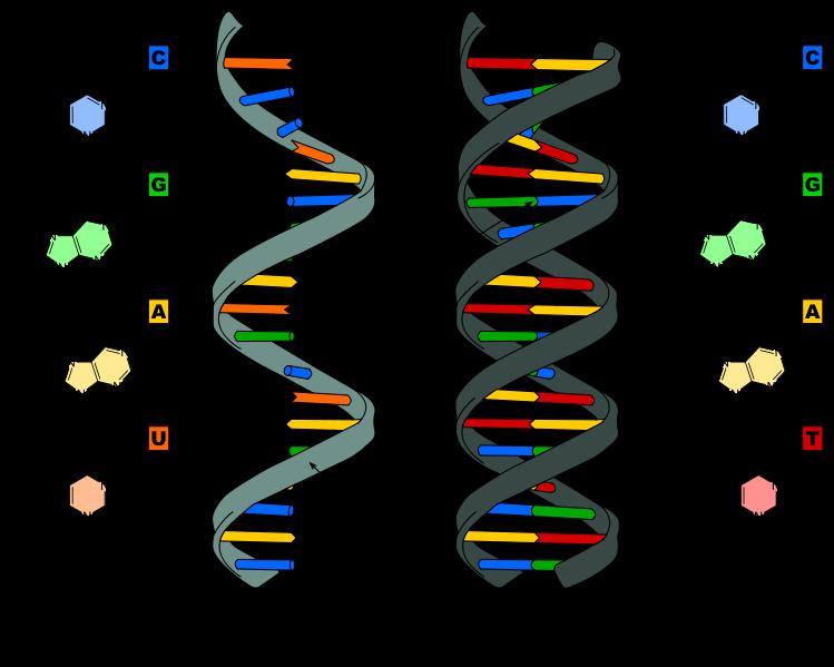 File:Difference DNA RNA-EN.svg