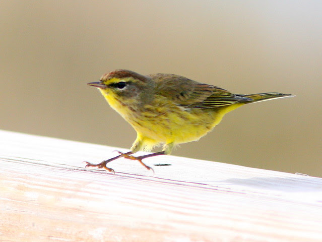 Yellow Palm Warbler 2-20091129