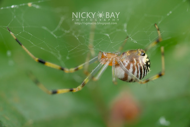 Comb-Footed Spider (Theridiidae) - DSC_0630