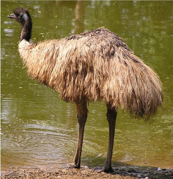 トリモノ帖 オーストラリアの国鳥エミュー世界の国鳥11