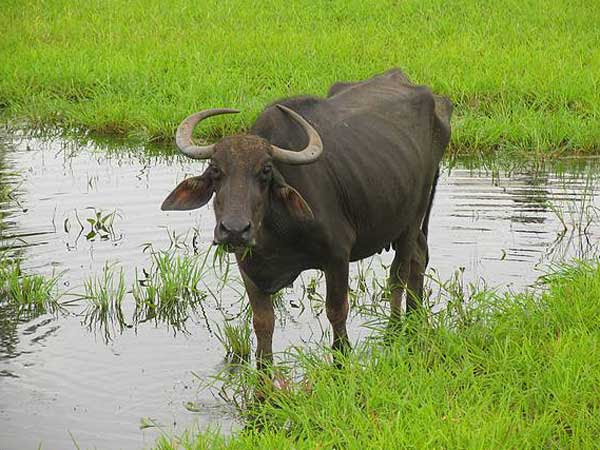 indian_buffalo