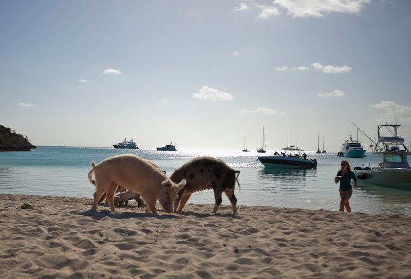 Свиньи пасутся на берегу в поисках еды. Фото