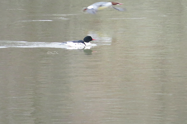 IMG_1360CommonMerganser_PhotoBomb