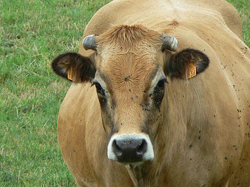 vache beige.jpg