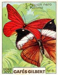 gilbertpapillons009