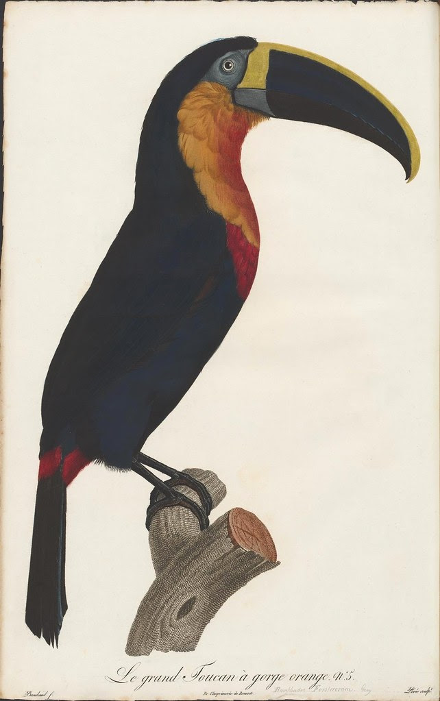south american toucan illustration