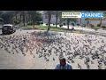 Mengapa Burung Merpati di Masjidil Haram - Mekkah Tidak Boleh Diburu / Dibunuh